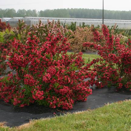 Weigela x Nain Rouge® 'Courtanin'