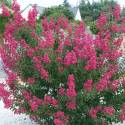 Lilas des Indes indica Petite Red