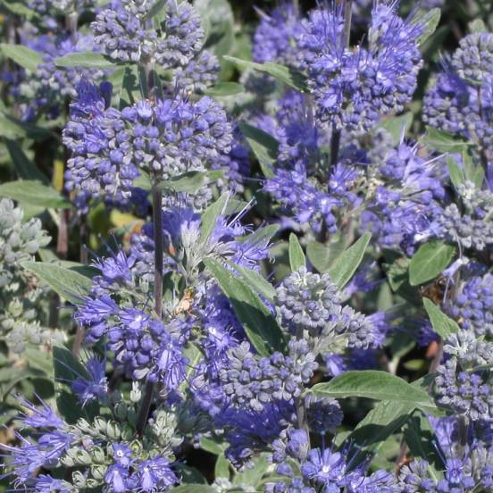 sale retailer fd92c f0018 caryopteris-x-clandonensis-heavenly-blue.jpg