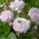 Rosier arbustif Blush Noisette