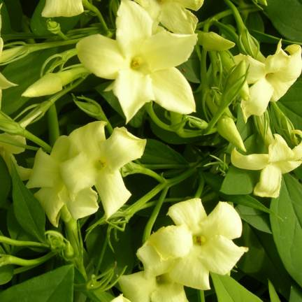 Jasmin blanc officinalis Clotted Cream® 'Devon Cream'
